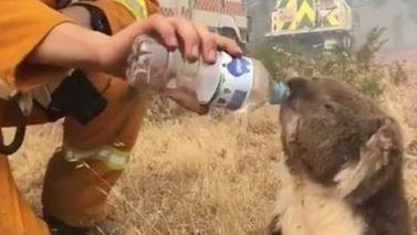 australie-koala.JPG